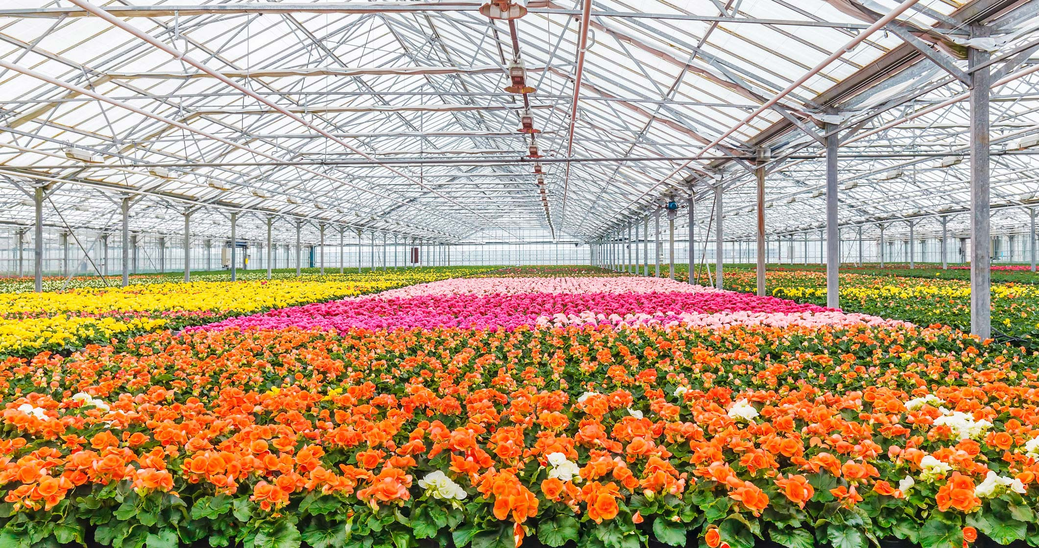 Image of a greenhouse containing flowers of different colors